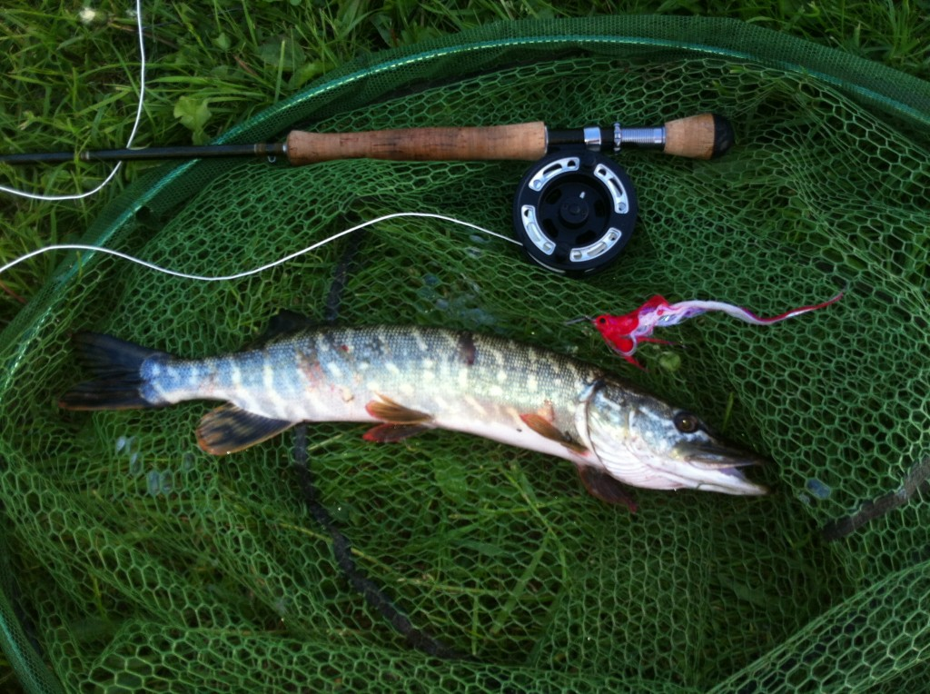 Mike Linstead catches a small Pike on the fly from Pocklington Canal