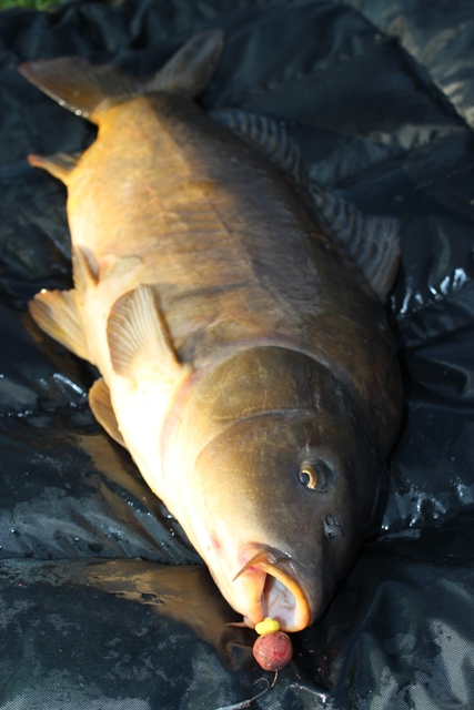 Mike Linstead Catches a 15lb 11oz from Manor Carp  Lake in East Yorkshire
