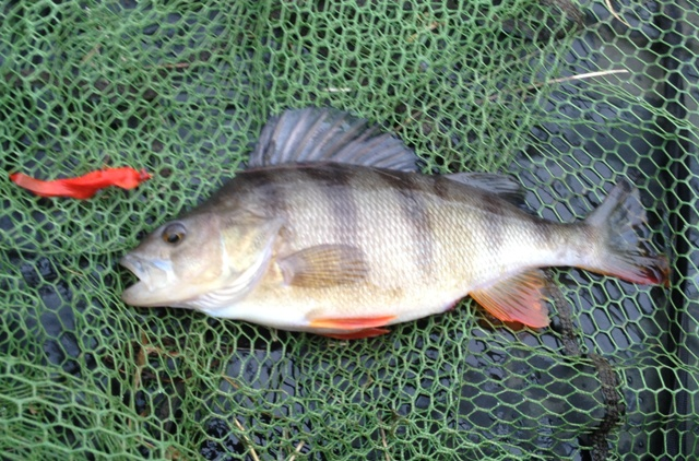 A good size Perch caught on the fly by Mike Linstead
